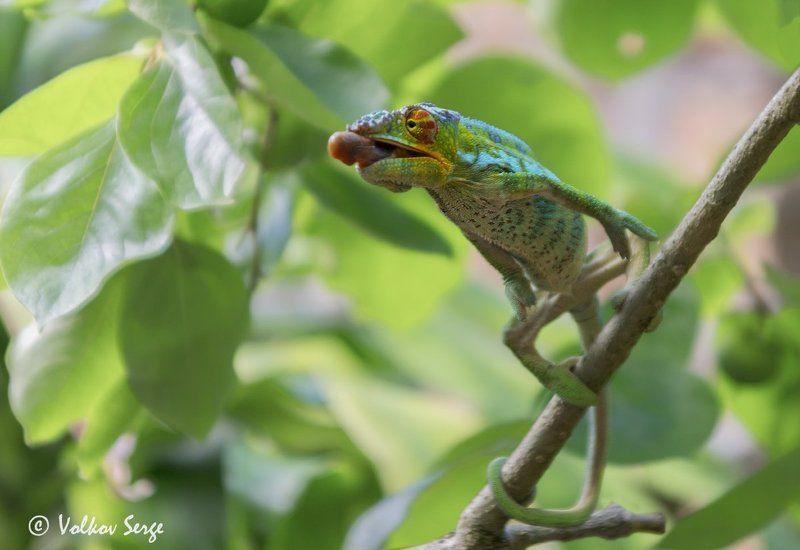 хамелеон, мадагаскар, дикие животные, дикая природа Дай прикурить!photo preview
