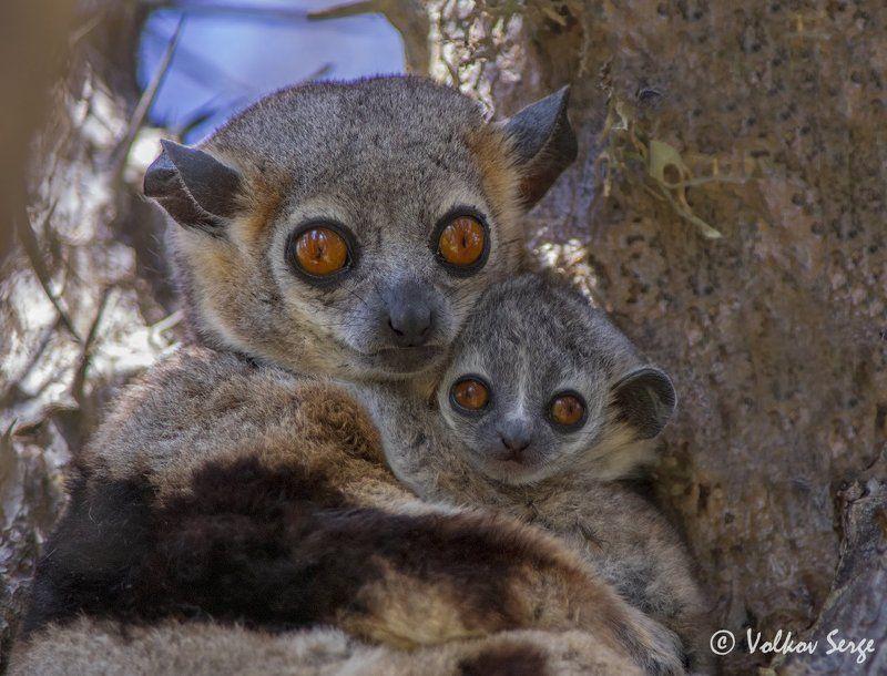 мадагаскар, лемуры, дикая природа, дикие животные, wildlife, фотоохота Обнимашкиphoto preview