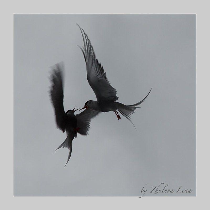 чайки Иероглифы поединкаphoto preview