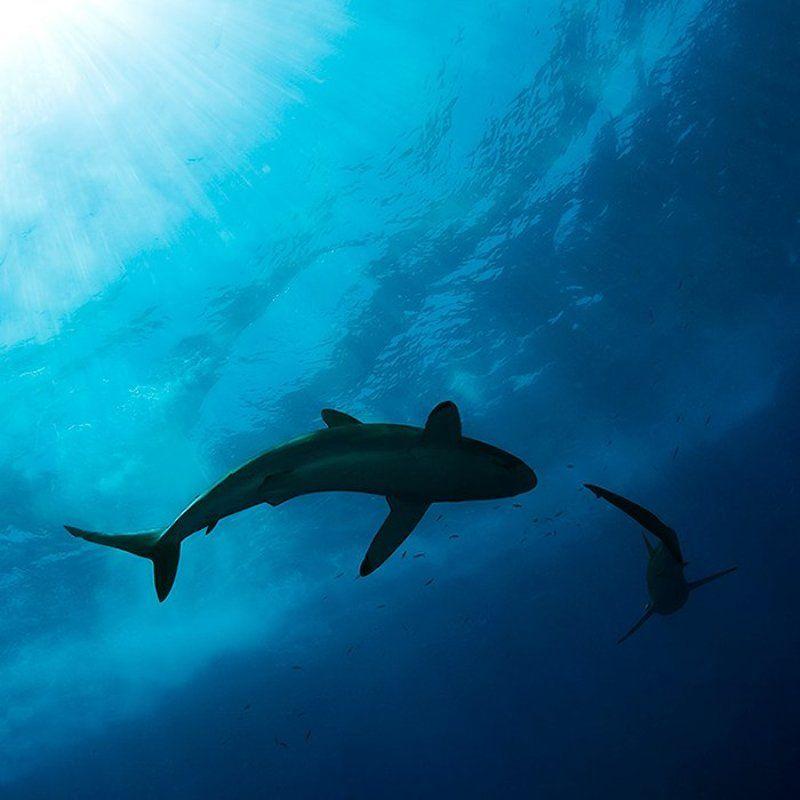 акула, солнце, вода, море, подводная съемка танец шелковых акулphoto preview
