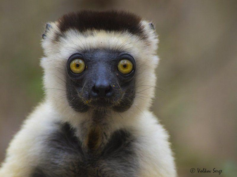 мадагаскар, лемуры, дикая природа, дикие животные, propithecus verreauxi, verreaux\'s sifaka, сифака верро, А глаза такие добрые-добрые....photo preview