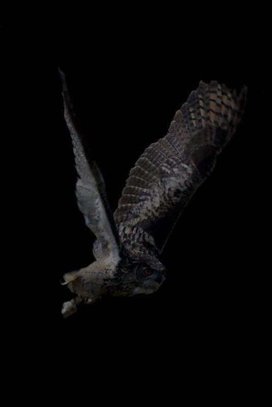 сова,вечер Я, наблюдаю, полёты, совы...photo preview