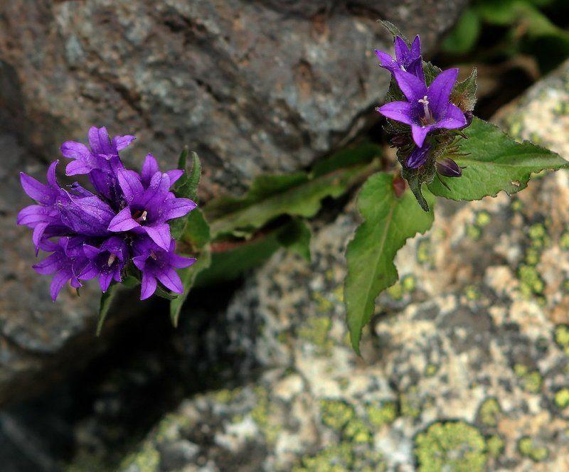 алтай, горный алтай,лето,горы,цветы Среди скал и камней...photo preview