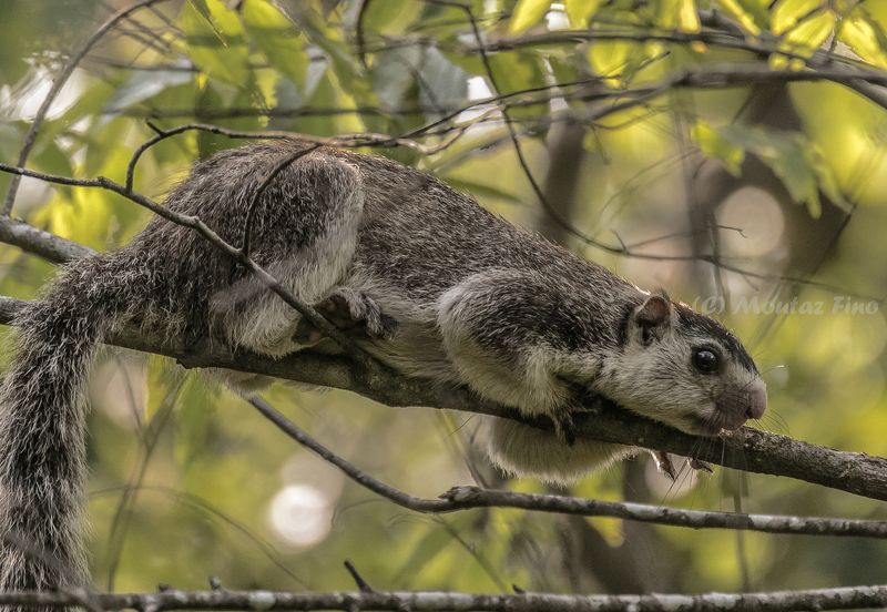 Grizzled giant squirrelphoto preview