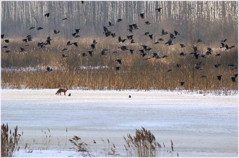 вороны, corvus cornix, обыкновенная лисица, vulpes vulpes,  весна Вороны и лисица (почти по Крылову)photo preview