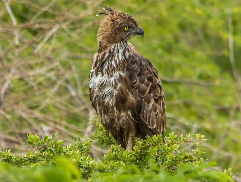 changeable hawk eaglephoto preview