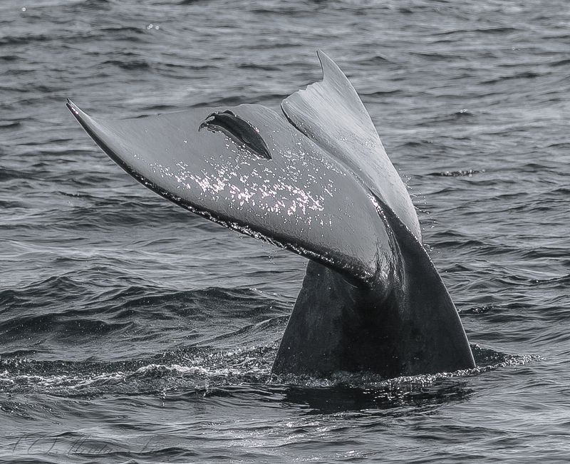 sea Blue Whale Away to the deep photo preview
