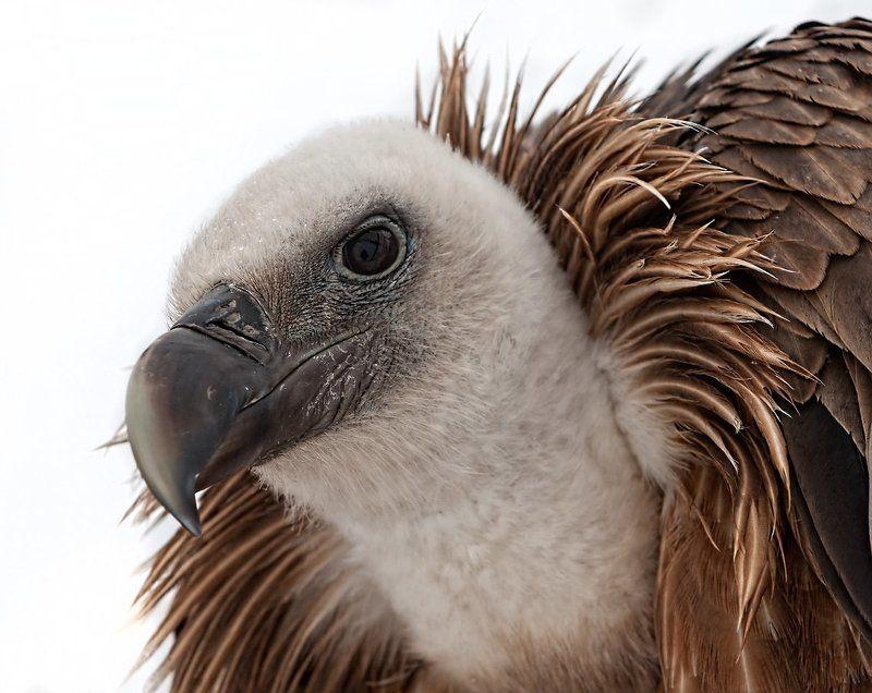 Птица, Сип белоголовый Сип белоголовыйphoto preview