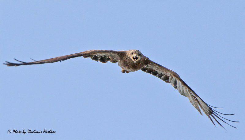 Shout of Predator. Black Kite. Чёрный Коршун.photo preview