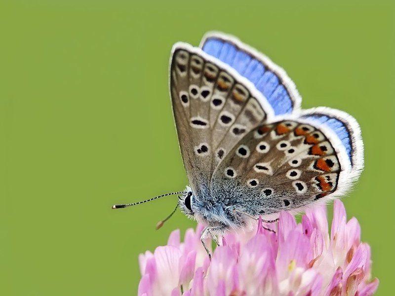 бабочки, голубянка, червонец О голубянкахphoto preview
