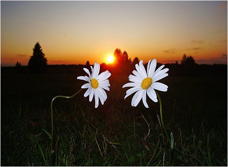 закат,ромашки,влюбленные О ромашковой любви...photo preview