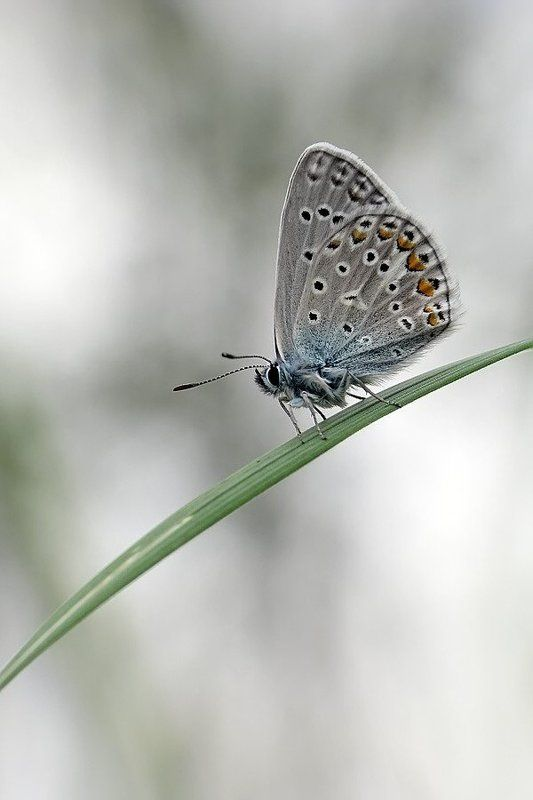 бабочка, голубянка пасмурнаяphoto preview
