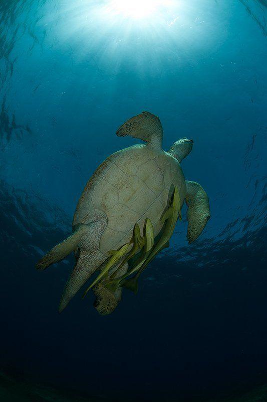 черепаха, прилипала, красное море, подводная съемка, солнце, вода к солнцуphoto preview