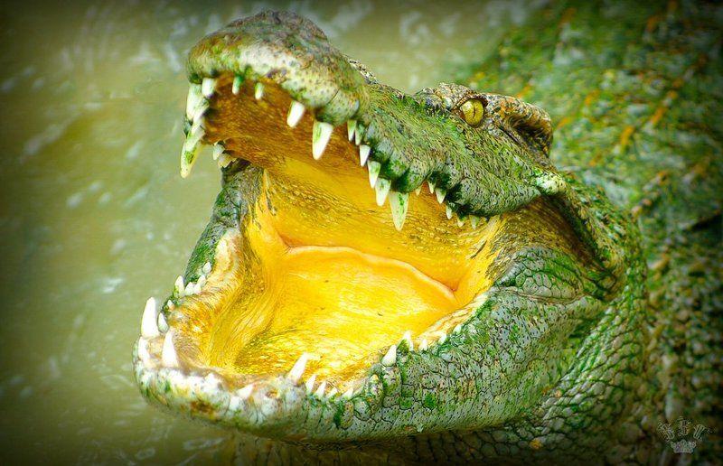 Вьетнамские крокодилыphoto preview