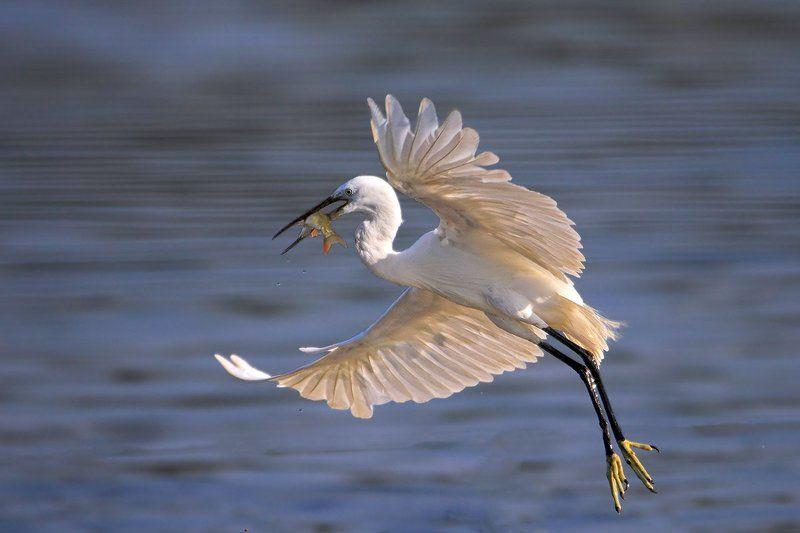 animals,birds,egret, fish,7d,600mm, животные,птицы,рыба С уловомphoto preview