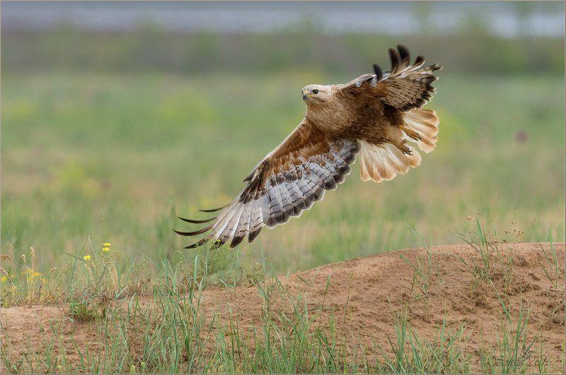 птицы, природа, buteo rufinus, курганник, весна, май, 2016, астраханская область Стартphoto preview