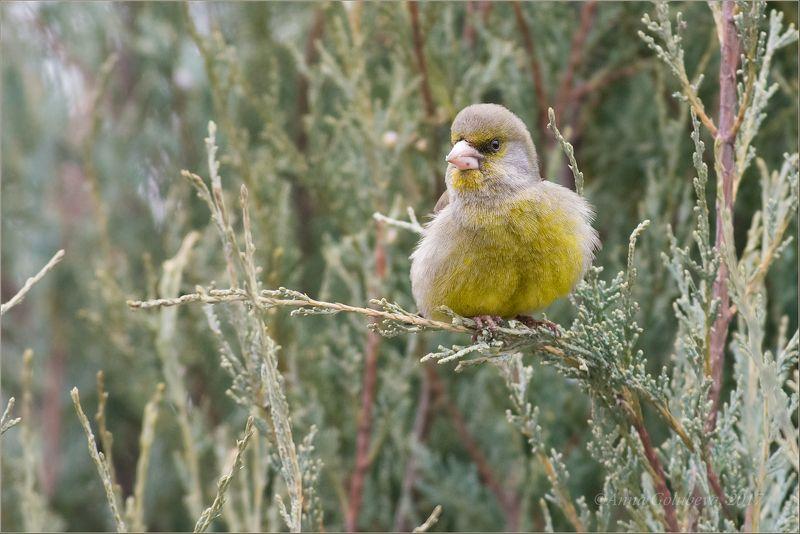 птицы, природа, carduelis chloris, european greenfinch, зеленушка, самец, весна, март, 2017, москва, гбс Управляющийphoto preview