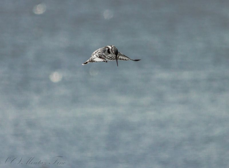 Pied Kingfisherphoto preview