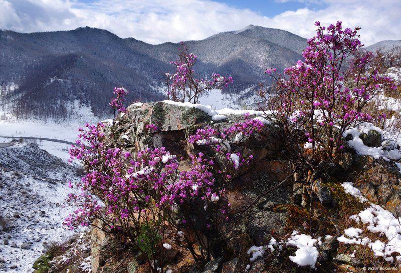 Алтай, Багульник, Маральник, Рододендрон, Снег Где-то багульник (маральник) под снегом цветет...photo preview