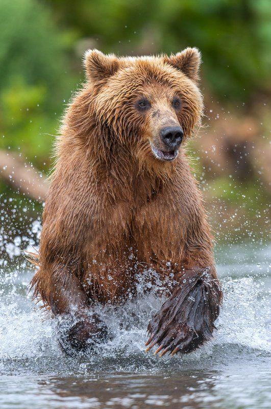 камчатка, бурый медведь В азартеphoto preview
