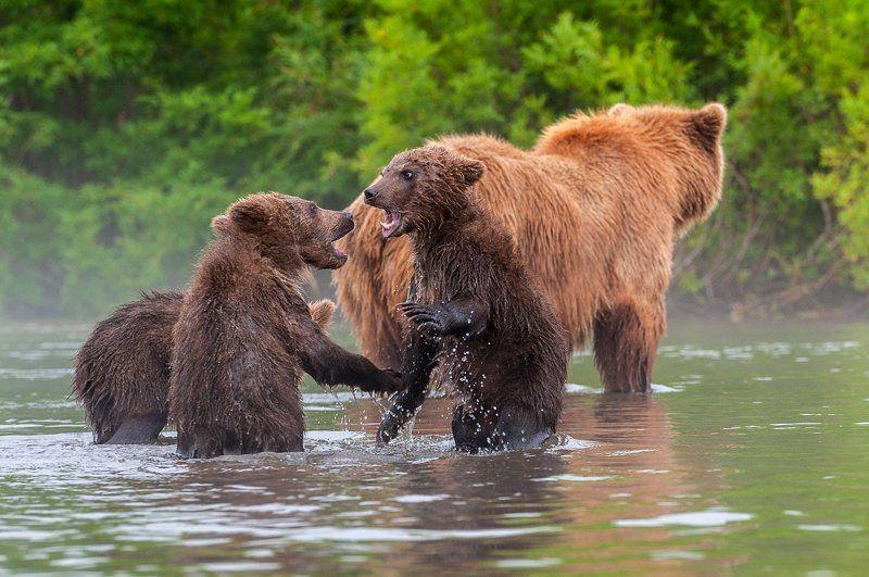 камчатка, бурый медведь Всё как у людей (Стоило только отвернуться)photo preview