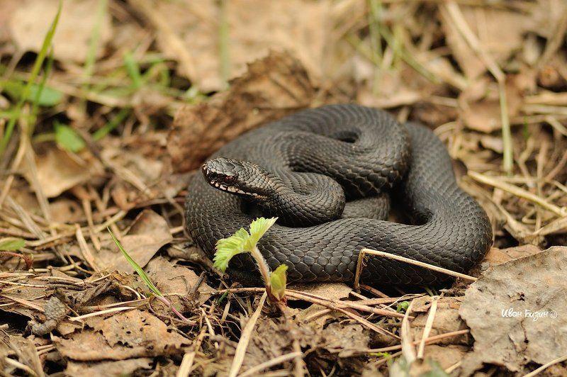 змея, гадюка, весна гадюкаphoto preview