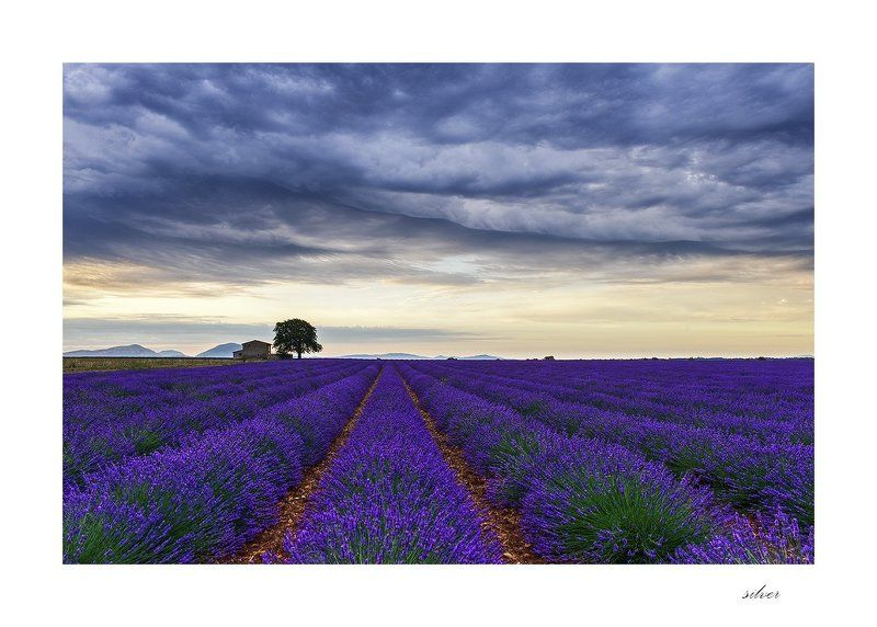 provence Lavender fieldphoto preview
