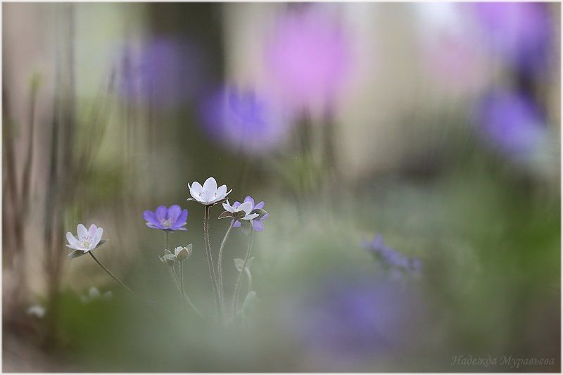 печёночница, hepática, перелеска Сиреневый туманphoto preview