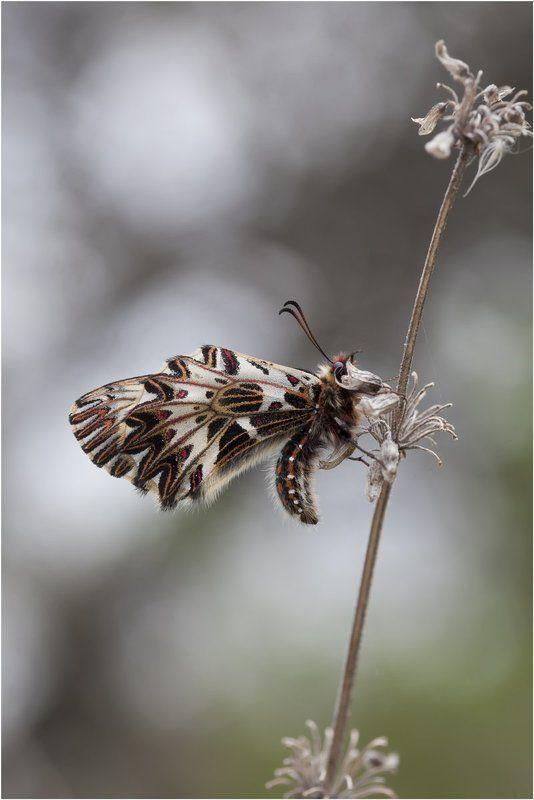 поликсена,  zerynthia polyxena, парусник, бабочка ***photo preview