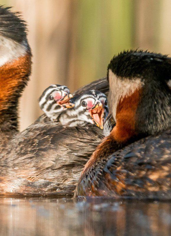 red-necked grebe; Podiceps grisegena; Birder\'s Corner; Birds The red-necked grebe (Podiceps grisegena)photo preview