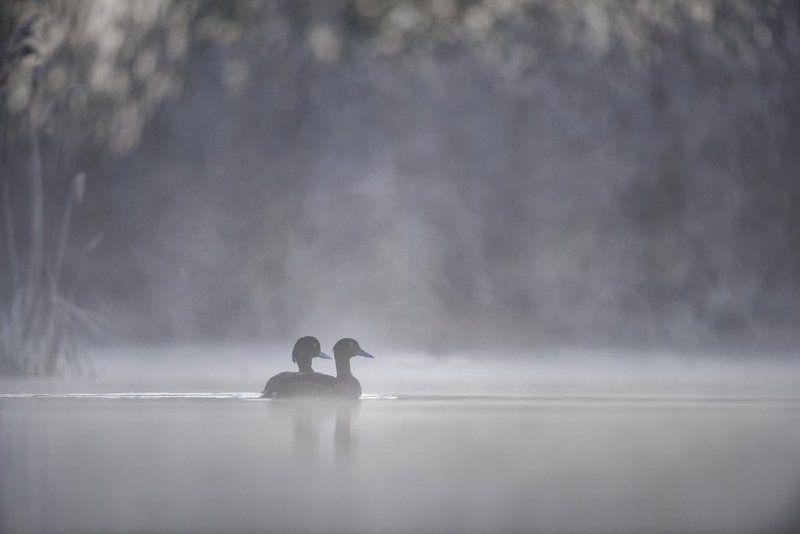 Tufted duck; Aythya fuligula; Birder\'s Corner; Birds The Tufted duck (Aythya fuligula)photo preview