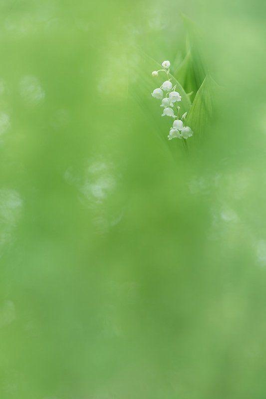 О цвете ландышаphoto preview