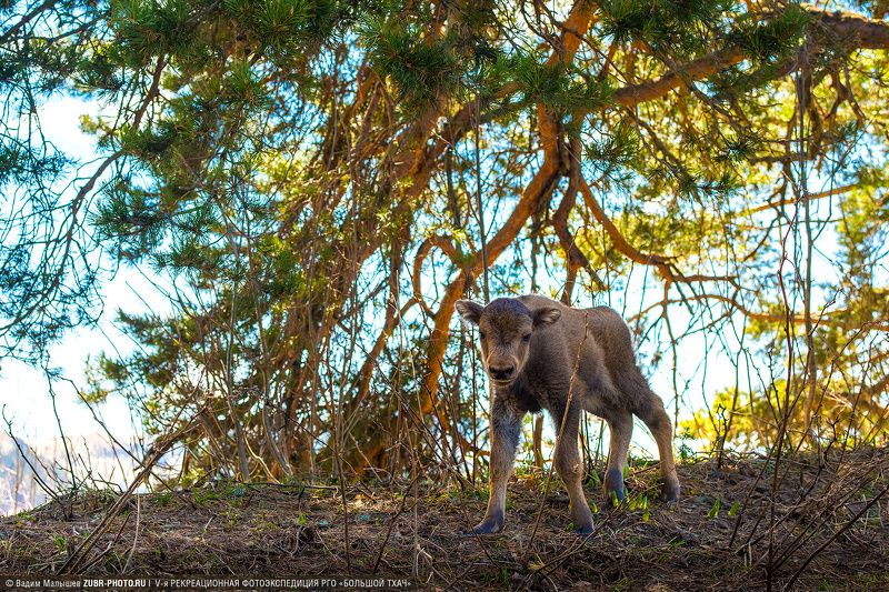 зубр, животные, кавказ, адыгея, горы, дикие, Первая встречаphoto preview