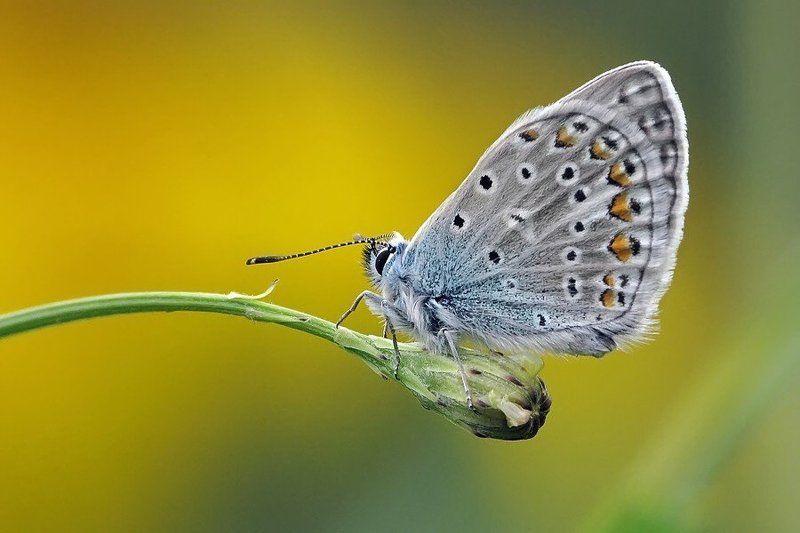 голубянка, бабочка, цвет цветные карточкиphoto preview