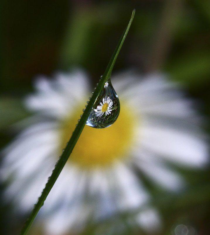 роса, утро, цветок, ромашка Про ромашкуphoto preview