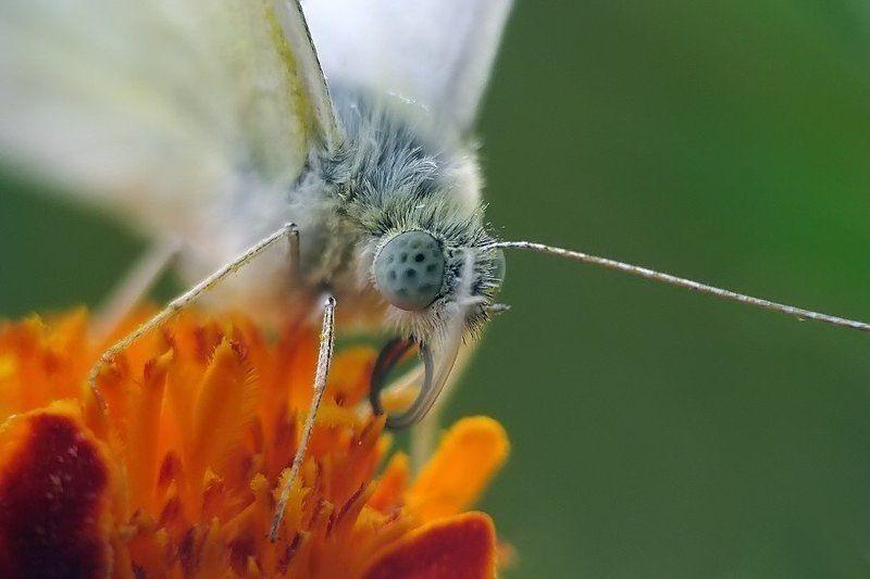 белянка, бабочка, репница беляНочноеphoto preview