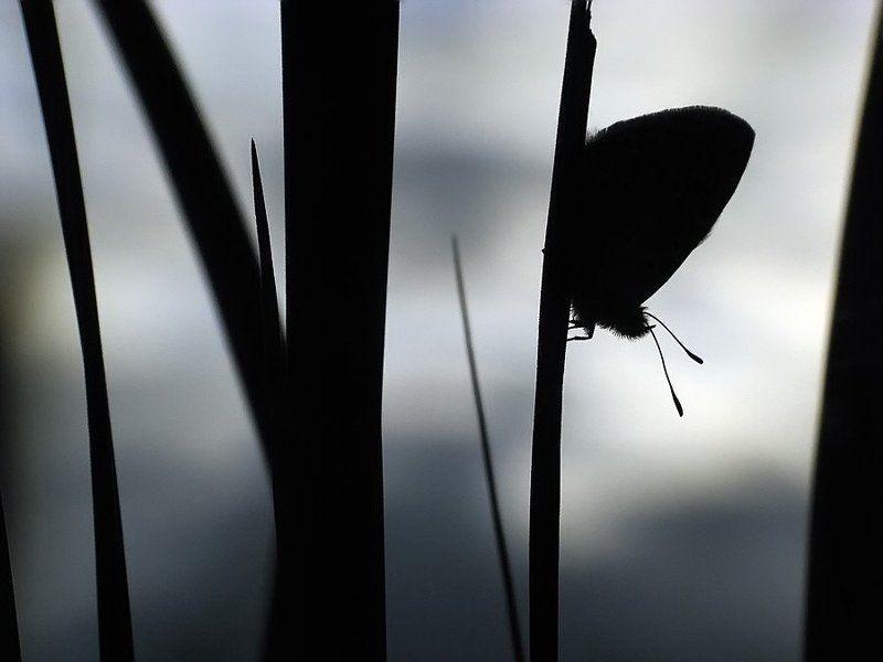 бабочка, голубянка перед бурейphoto preview