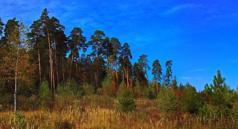 осень, пейзаж, сосны Осень на опушке соснового леса #октябрь2010photo preview