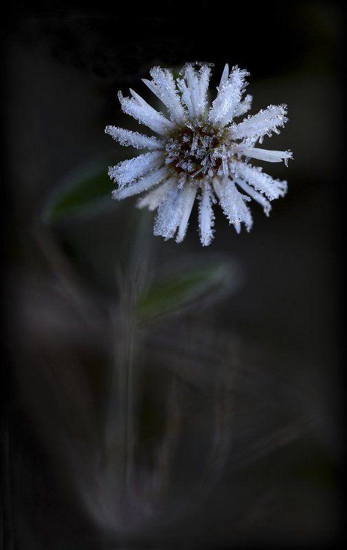 осень, ромашка, иней Frozenphoto preview