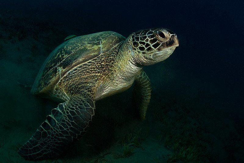черепаха, прилипала, красное море, подводная съемка, солнце, вода покатай меня, пожалуйста, больша-а-а-ая черепаха!photo preview