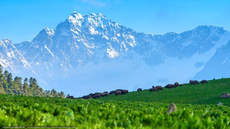 кавказ, горы, зубры, стадо, лето, природа Жизнь в заповедной долинеphoto preview