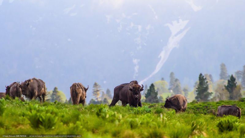 зубр, животные, кавказ, адыгея, горы, дикие, самец, вожак, заповедник Вожакphoto preview