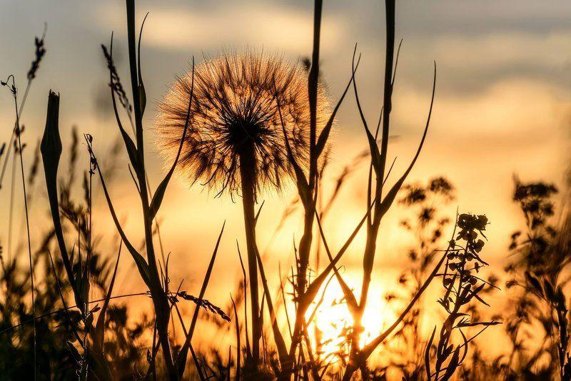 цветы, одуванчик, большой,закат, flowers, dandelion, big, sunset На закатеphoto preview
