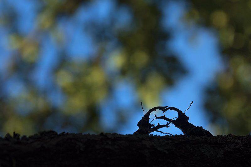 жук-олень Битва оленейphoto preview