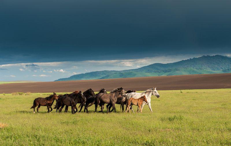 лошади алтай пейзаж небо туча свобода вожак свет радуга россия природа простор луг табун На просторах Алтаяphoto preview