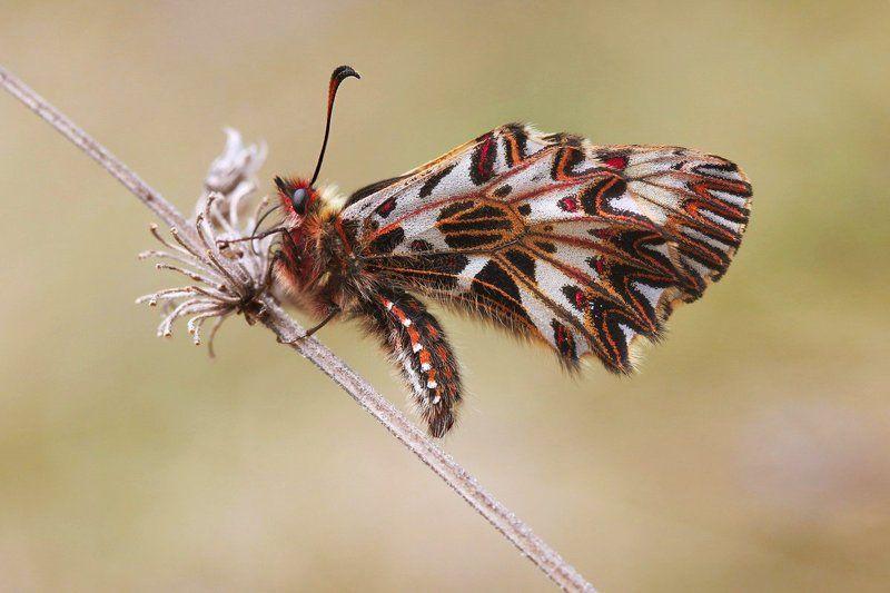 поликсена,  zerynthia polyxena, парусник, бабочка Поликсенаphoto preview