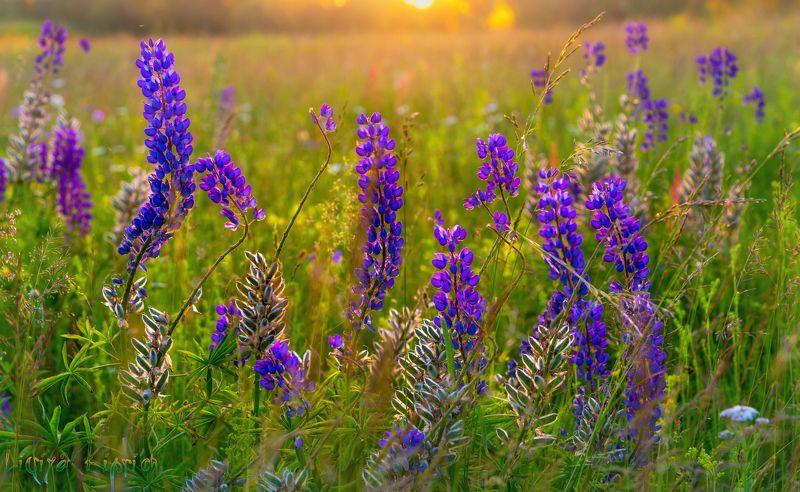 природа, лето, закат, вечерний свет, люпин, цветы люпины в закатном светеphoto preview