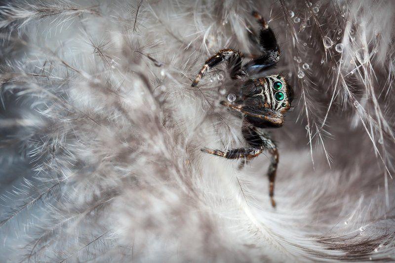 Паук, скакун, перины, макро, природа, капли, вода,  В перинахphoto preview