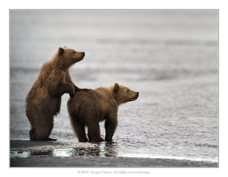 аляска, медвели, дикая природа, фотографии дикой природы ****photo preview