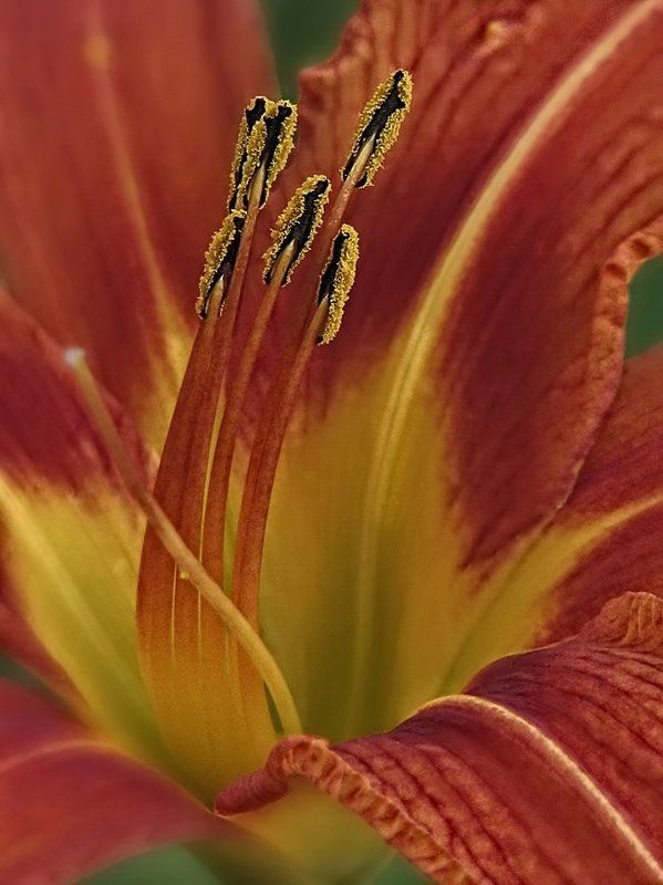 лилии, цветы, флора ...photo preview